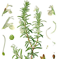 rosemary herb contains carnosic acid for eyes